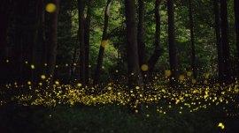 luciernaga_firefly_tsuneaki_hiramitsu_cultura_inquieta2
